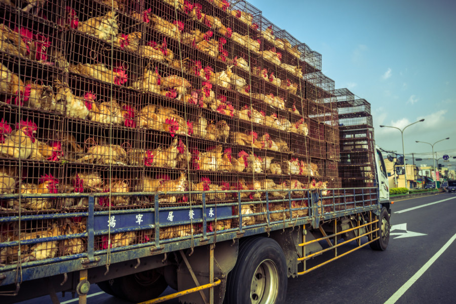 Poultry truck on the way to Kenting
