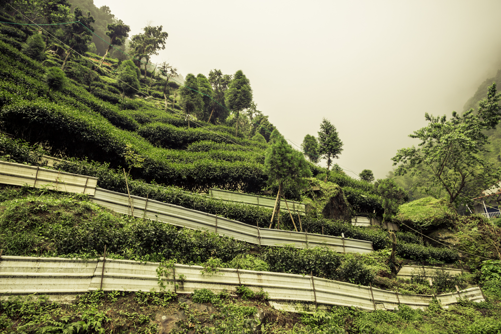 Growing tea in the mountains of Nantou county
