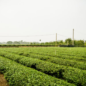 Tea fields of Mingjian