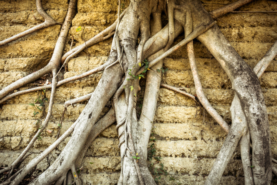Banyan roots along Tainan's eastern wall